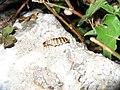 Lampyris noctilucal - panoramio.jpg