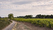 Landscape of vineyards, Castelnau-de-Guers cf01.jpg