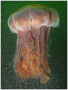 lion s mane jellyfish wikipedia
