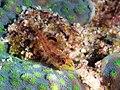 Largemouth triplefin (Ucla xenogrammus) (32423240856).jpg