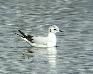 Little gull - Adult