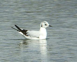 Little gull - Adult
