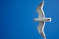 Larus occidentalis, Bremerton, Washington.jpg