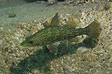Flora und Fauna des Tanganjikasees - Wikipedia