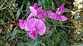 Lathyrus latifolius, Santa Coloma de Farners.jpg