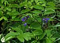 Lathyrus vernus atrocyaneus - Flickr - peganum.jpg