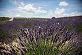 Lavender & snail shell outside Aix-en-Provence.jpg