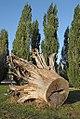 Le chêne de Marie-Antoinette (Versailles) (8038727968).jpg