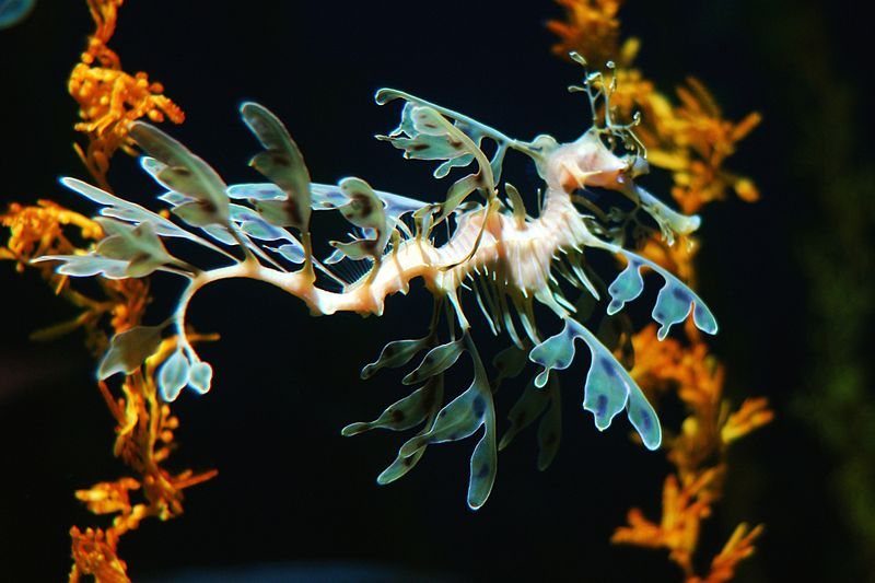 File:Leafy Sea Dragon 2.jpg