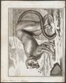 Lemur mongoz - 1700-1880 - Print - Iconographia Zoologica - Special Collections University of Amsterdam - UBA01 IZ19700063.tif