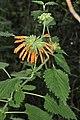 Leonotis dubia (Lamiaceae - Labiatae) (6932184715).jpg