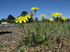 Leontodon saxatilis plant12 NT (15903299633).jpg