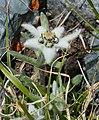 Leontopodium ochroleucum, эдельвейс в Горах Алтая 03.jpg