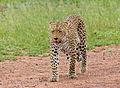 Leopard (Panthera pardus) female (13901064692).jpg