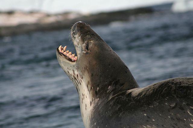 Tuleň leopardí - mäsožravý konzument