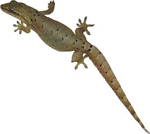 Jungferngecko (Lepidodactylus lugubris)