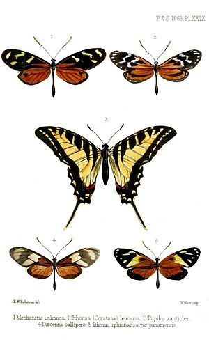 E. W. Robinson - Butterflies from Panama, including Dark Zebra Swallowtail (center). Proceedings of the Zoological Society of London (vol. 1863, plate XXIX)