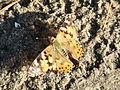 Lepidoptera CBTha002.JPG