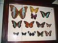 Lepidoptera collection 01655.jpg