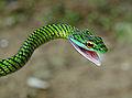 Leptophis ahaetulla, a Parrot Snake.jpg