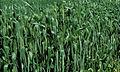 Les Plantes Cultivades. Cereals. Imatge 155.jpg