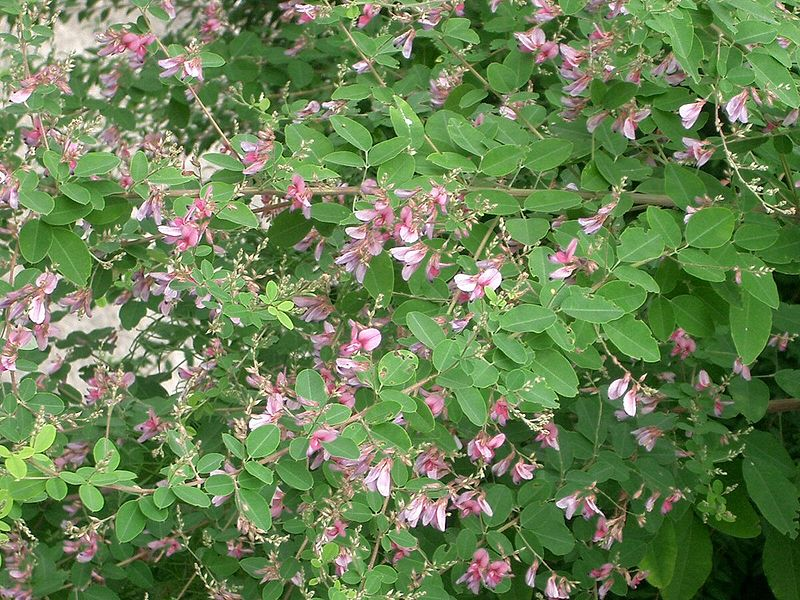 Mystery plant. Beggar Lice? Potent dmt source? - Other ...