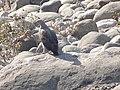 Lesser Fish Eagle - Icthyophaga humilis - DSC04899.jpg