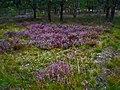 Letzlinger Heide - Blühendes Heidekraut - panoramio.jpg