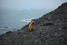 Leucistic Antarctic Fur Seal in the South Orkney Islands.jpg