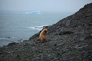 Coronation Island - Leucistic Antarctic fur seal on Coronation Island