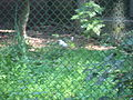 Leucopsar rothschildi in Burgers' Zoo (Park).JPG