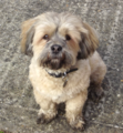 Lhasa Apso - Buster.png