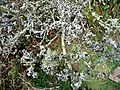 Lichens on hawthorn - geograph.org.uk - 716781.jpg