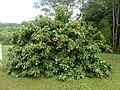 Lichia Litchi Sapindaceae - panoramio.jpg