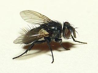 Blondeliini Tribe of flies