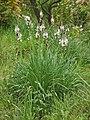 Liliaceae - Asphodelus macrocarpus-1 (8304612054).jpg