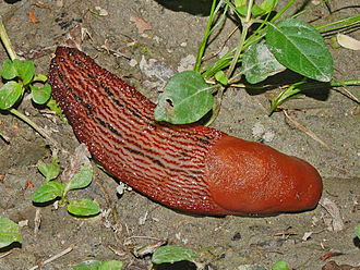 Limax - Limax dacampi