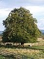 Lime tree - geograph.org.uk - 562638.jpg
