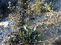 Limonium vulgare Plant LagunadelaMata.jpg