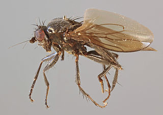 Limosininae subfamily of insects