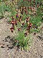 Linaria reticulata (Scrophulariaceae) plant.JPG