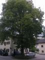 Linde in Kienbichl Suedseite.png