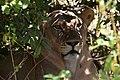 Lion, Ruaha National Park (9) (28407027344).jpg