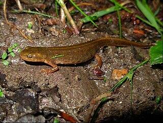 Boscas newt Species of amphibian
