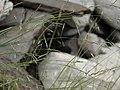 Little ricegrass, Stipa divaricata (39041688895).jpg