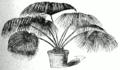 Livistona chinensis.png
