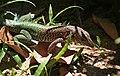Lizard (2719237589).jpg