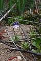 Lobelia sp. (Lobeliaceae) (37611084502).jpg