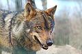 Lobo en cautividad.JPG
