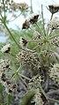 Lomatium macrocarpum with insect.jpg